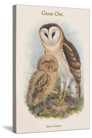 Strix Candida - Grass Owl-John Gould-Stretched Canvas Print
