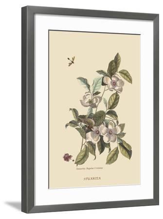 Stuartia - Camellia-Mark Catesby-Framed Art Print