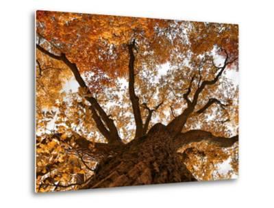Oak-Schlegelfotos-Metal Print