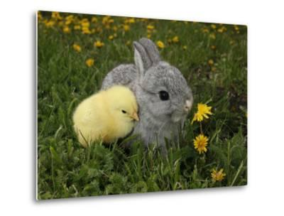 Gray Rabbit Bunny Baby and Yellow Chick Best Friends-Richard Peterson-Metal Print