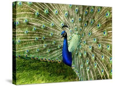 Peacock-This Image Belongs To Jean Turner-Stretched Canvas Print