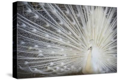 White Peacock-Aliraza Khatri's Photography-Stretched Canvas Print