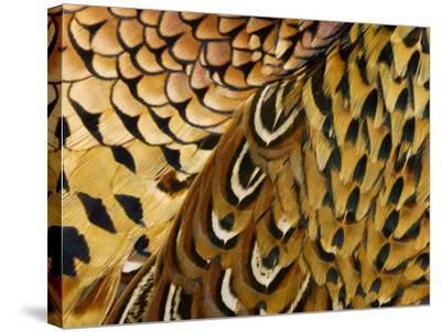 Detail of Pheasant Feathers-Jeffrey Coolidge-Stretched Canvas Print