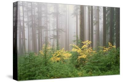 Hemlock and Vine Maple Trees in the Umpqua National Forest. Green and Yellow Foliage.-Mint Images - David Schultz-Stretched Canvas Print