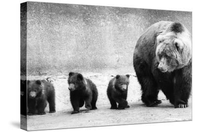 Bear Family-Evening Standard-Stretched Canvas Print