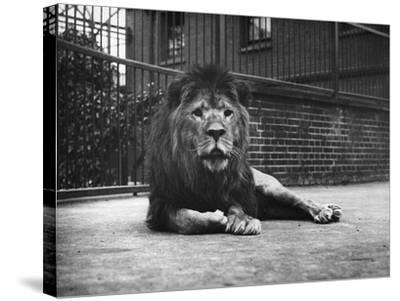 Sultan the Lion--Stretched Canvas Print