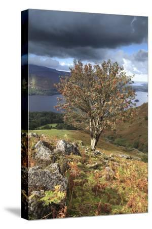 Rowan Tree Ashness Fell, Lake District-Dave Porter Peterborough Uk-Stretched Canvas Print