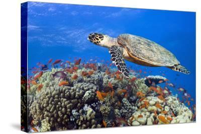 Hawksbill Sea Turtle-Georgette Douwma-Stretched Canvas Print