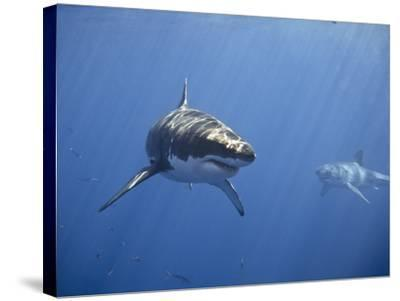 Two Great White Sharks-Photo by George T Probst-Stretched Canvas Print