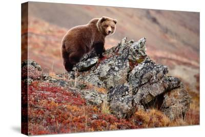 Denali Brown Bear-Image courtesy of Jeffrey D. Walters-Stretched Canvas Print