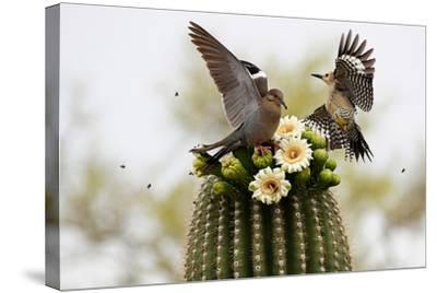 Dove and Woodpecker on Blooming Saguaro Cactus-barbaracarrollphotography-Stretched Canvas Print