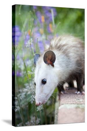 Pet Possum-Grove Pashley-Stretched Canvas Print