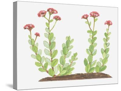 Illustration of Sedum Telephium (Orpine), Succulent Plant with Red Flowers-Ann Winterbotham-Stretched Canvas Print