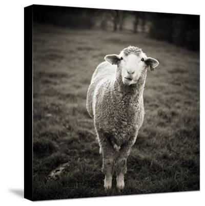 Sheep Chewing Cud-Danielle D. Hughson-Stretched Canvas Print