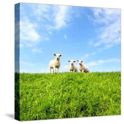 Spring Lambs-MarcelTB-Stretched Canvas Print