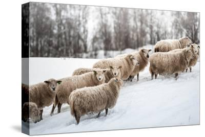 Sheep Herd Waking on Snow Field-coolbiere photograph-Stretched Canvas Print