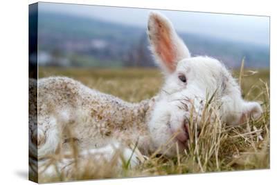 Newborn Lamb-TJ Blackwell-Stretched Canvas Print