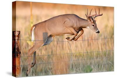 Young White-Tail Deer-David C Stephens-Stretched Canvas Print