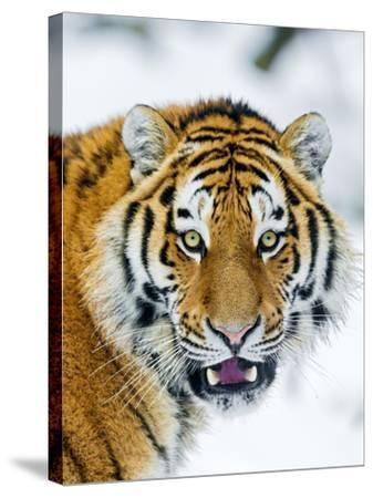 A Nice Portrait-Picture by Tambako the Jaguar-Stretched Canvas Print