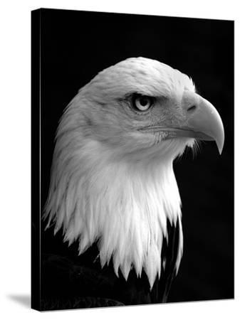 Haliaeetus Leucocephalus (Bald Eagle)-Saffron Blaze-Stretched Canvas Print