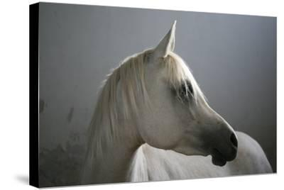 Arabian Horse-Photo by Eman Jamal-Stretched Canvas Print