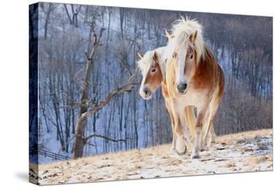 Two Horses on Snowy Hill in Winter-Driftless Studio-Stretched Canvas Print