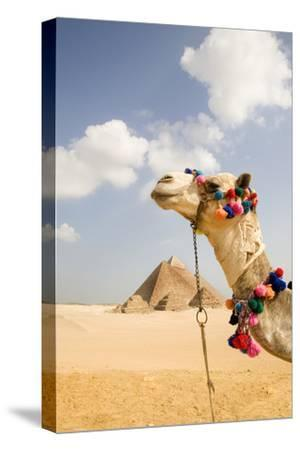 Camel in Desert with Pyramids Background-Grant Faint-Stretched Canvas Print