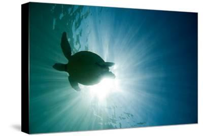Sea Turtle-M.M. Sweet-Stretched Canvas Print