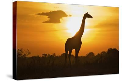 Silhouette Giraffe at Sunset-Joost Notten-Stretched Canvas Print