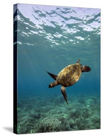 Turtle Swimming-David Olsen-Stretched Canvas Print