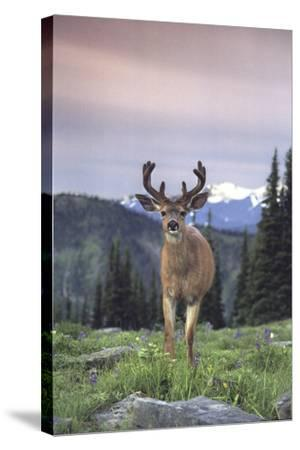 Deer Olympic National Park Washington USA-Purestock-Stretched Canvas Print