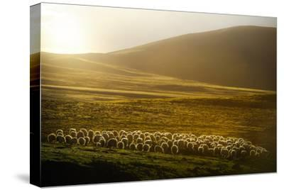 Sheep Herd on Meadows in Evening Light-coolbiere photograph-Stretched Canvas Print