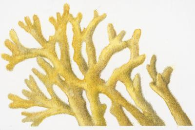 Illustration of Yellow Coral-Dorling Kindersley-Premium Photographic Print