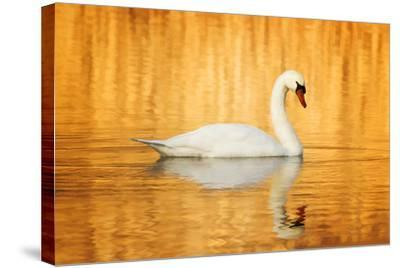 Swam Swimming in Water-Jody Trappe Photography-Stretched Canvas Print