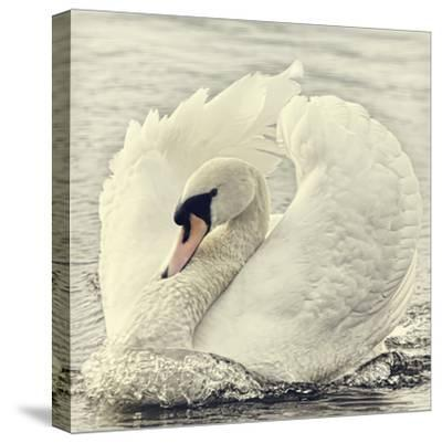 Swan Causing Bow Wave-BlackCatPhotos-Stretched Canvas Print