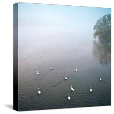 Swans in Log on River Neckar-Ulrich Mueller-Stretched Canvas Print