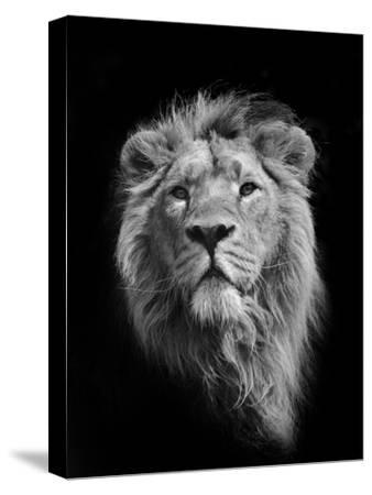 The King (Asiatic Lion)-Stephen Bridson Photography-Stretched Canvas Print