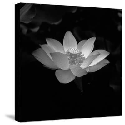 Lotus Flower-Jimmy Tsang-Stretched Canvas Print