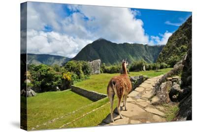 Lama at Machu Picchu-Jose Antonio Maciel-Stretched Canvas Print