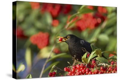 Blackbird Feeding on Autumn Berries--Stretched Canvas Print