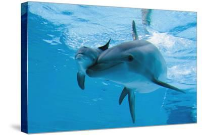 Bottlenose Dolphin Recently Born Calf Swims with Mother-Augusto Leandro Stanzani-Stretched Canvas Print
