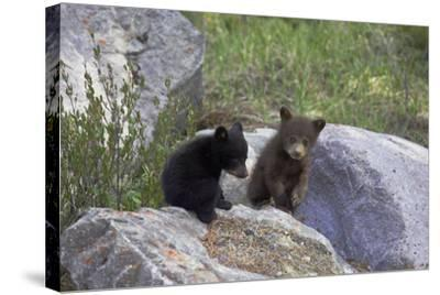 Black Bear Two Cubs Playing on Rocks--Stretched Canvas Print