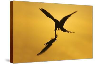 Great Frigatebird Catching Red-Footed Booby--Stretched Canvas Print