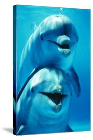 Bottlenose Dolphin Two, Facing, One on Top of the Other-Augusto Leandro Stanzani-Stretched Canvas Print