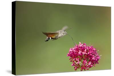Hummingbird Hawkmoth in Flight Feeding on Valerian--Stretched Canvas Print