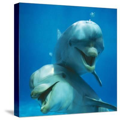 Bottlenose Dolphin Two Facing Camera-Augusto Leandro Stanzani-Stretched Canvas Print