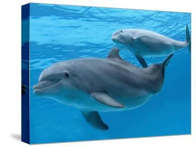 Bottlenose Dolphin Female and Her Calf-Augusto Leandro Stanzani-Stretched Canvas Print