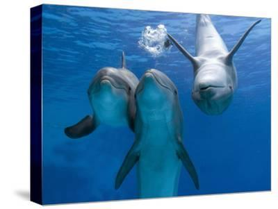Bottlenose Dolphins, Three Playing Underwater-Augusto Leandro Stanzani-Stretched Canvas Print