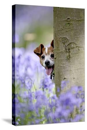 Jack Russell Looking around Tree in Bluebell Wood--Stretched Canvas Print