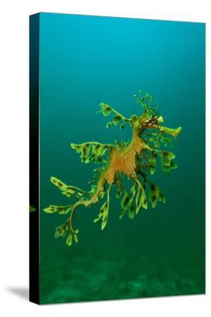 Leafy Seadragon an Example of Brilliant Camouflage--Stretched Canvas Print